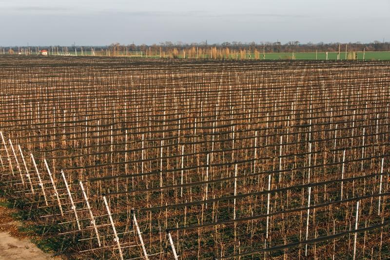 украинские яблоки экспорт